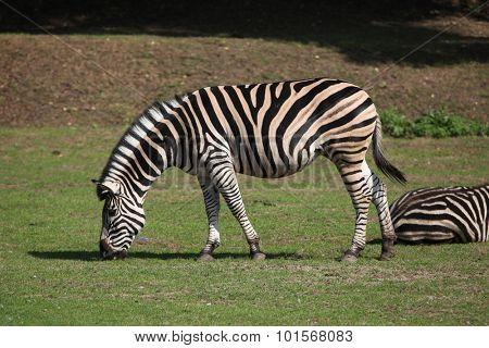 Chapman's zebra (Equus quagga chapmani). Wild life animal.