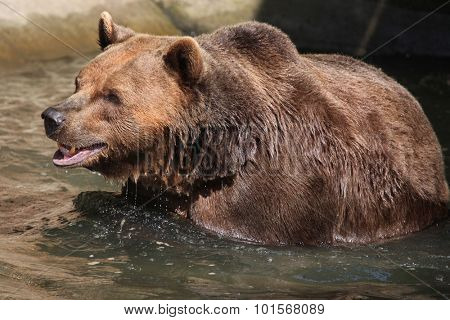 Brown bear (Ursus arctos) swimming. Wild life animal.