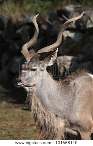 Greater kudu (Tragelaphus strepsiceros). Wild life animal.