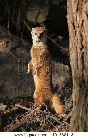 Yellow mongoose (Cynictis penicillata). Wild life animal.