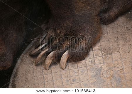 Brown bear (Ursus arctos) claw. Wild life animal.