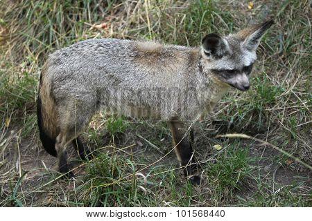Bat-eared fox (Otocyon megalotis). Wild life animal.