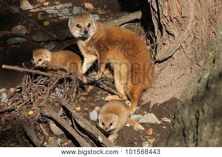 Yellow mongoose (Cynictis penicillata) with babies. Wild life animal.