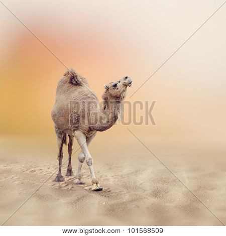Single-Humped Camel Walking in Desert