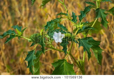 Datura Flower Seeds And Fruit