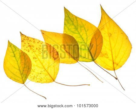 Yellow poplar leaves isolated on white