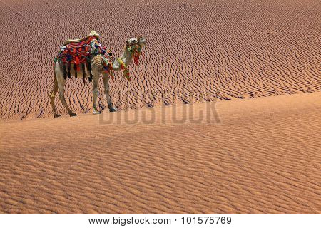 Sand dunes. Camel with harness and blanket for walking tourists. Sandy desert covered with waves of sand
