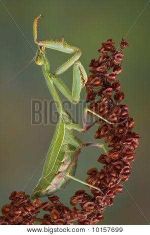 Preening Mantis