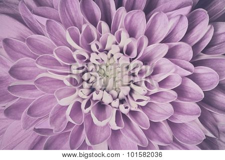 Dahlia flower petals pattern close-up. Vintage, faded pink floral background