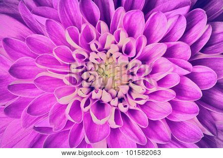Dahlia flower petals pattern close-up. Floral background