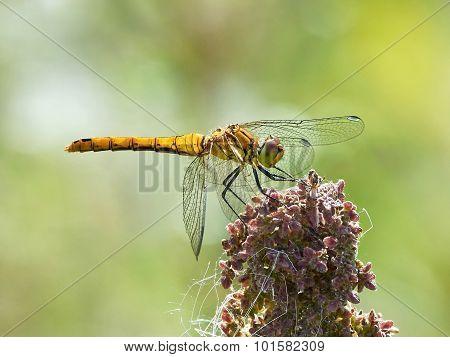 Vagrant Darter (sympetrum Vulgatum)