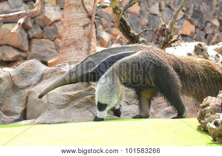 Giant anteater in Loro Park in Puerto de la Cruz on Tenerife, Canary Islands, Spain