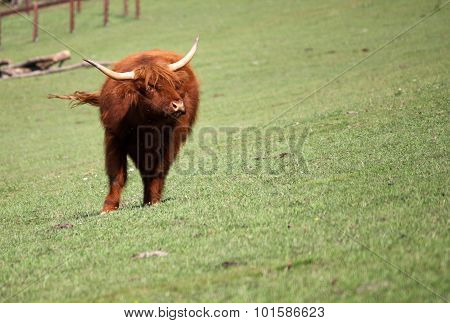 Brown Bull On Pasture