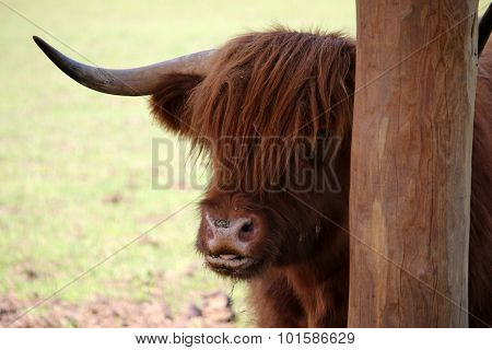 Brown Buffalo In Zoo