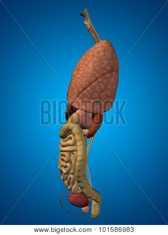 3D human or man internal abdominal or thorax organs for anatomy or health designs. An illustration on blue gradient background