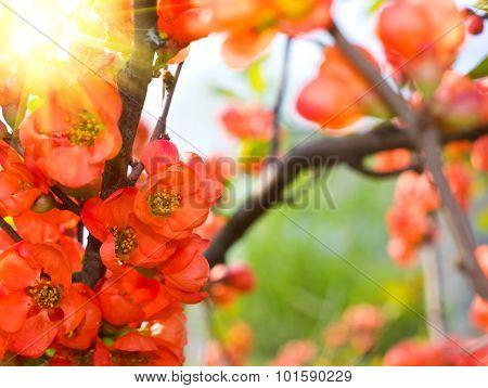 Flowering Quince In The Garden
