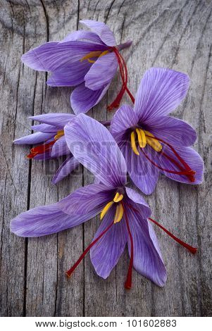 Saffron Flowers (crocus Sativus)