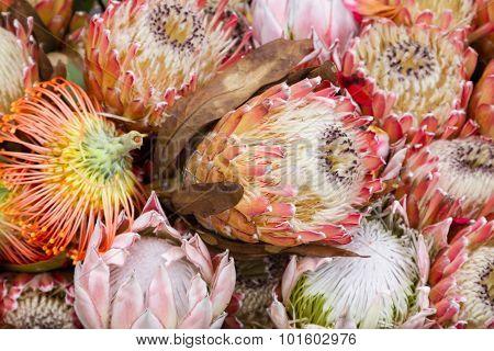 Protea Flowers. King Protea (Protea cynaroides). Madeira Island Portugal.