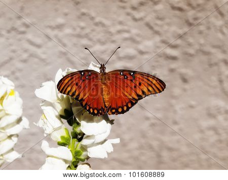 Orange And Black Butterfly With Wings Out