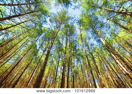 Looking up in pine forest tree to canopy. Bottom view wide angle background