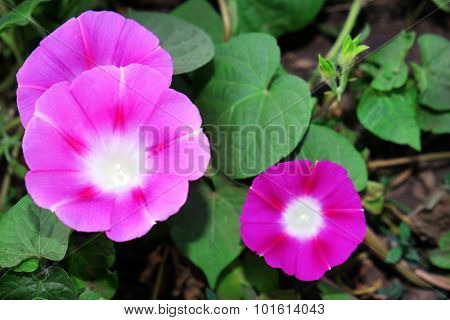 Morning glory flowers in garden