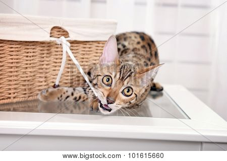 Beautiful Bengal kitten with basket in room