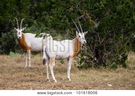 Scimitar Horned Oryx Calf