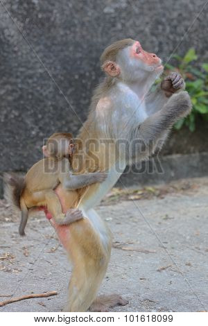 Macaque Holding It's Baby