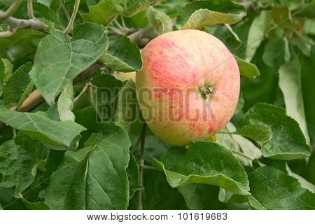 Ripening Big Red Apple