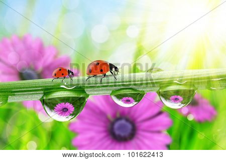 Flowers in the drops of dew on the green grass and ladybirds. Nature background.