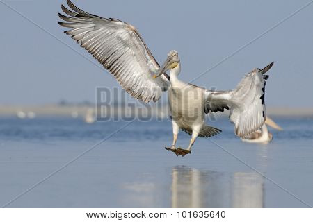 Dalmatian Pelican Arriving