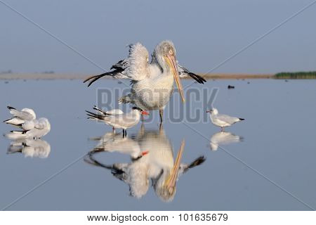 Early Morning Awakening Of Dalmatian Pelican