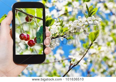 Picture Of Ripe Cherry On Twig With White Blossoms