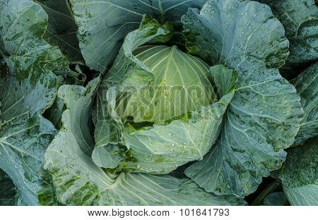 Head Of Cabbage