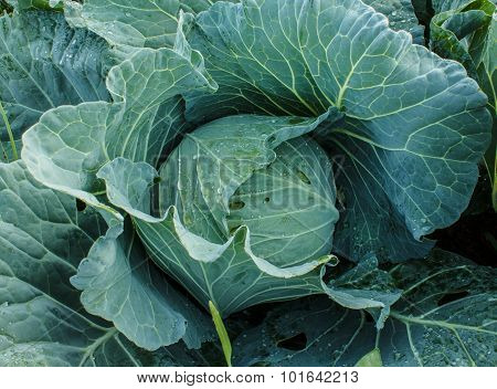 Cabbage In The Garden, Close-up