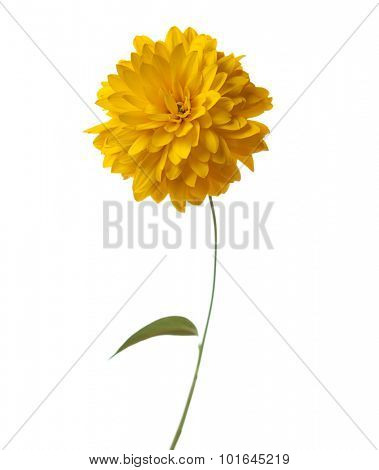 Yellow  flower ( Hortensia Golden Glow) isolated on white background