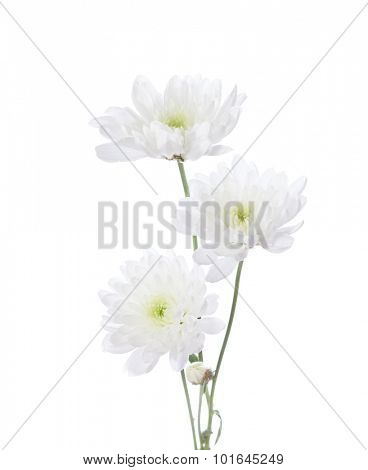 Three chrysanthemums isolated on white background. focus on bottom flower