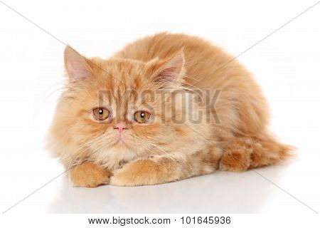 Ginger Persian Cat On White Background