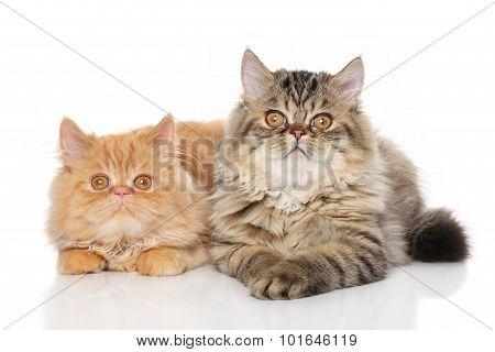 Pair Of Persian Cats