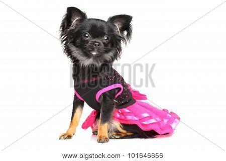 Chihuahua In Fashionable Dog Dress