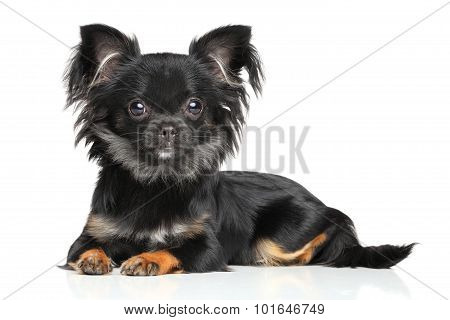 Long-haired Chihuahua Puppy