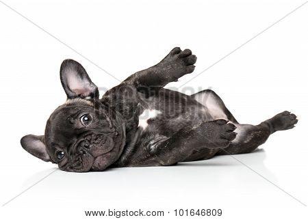 French Bulldog Pup Resting