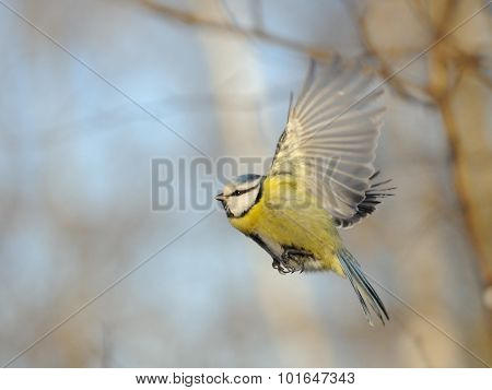 Flying Blue Tit With Wings Up