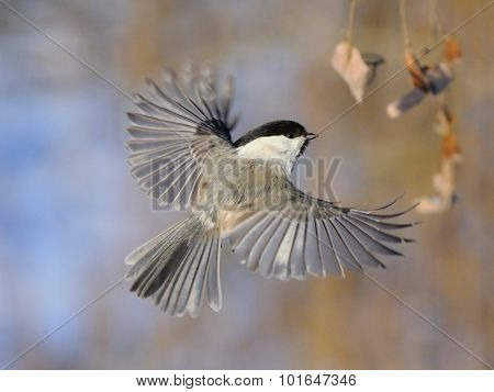Flying Willow Tit With Open Wings