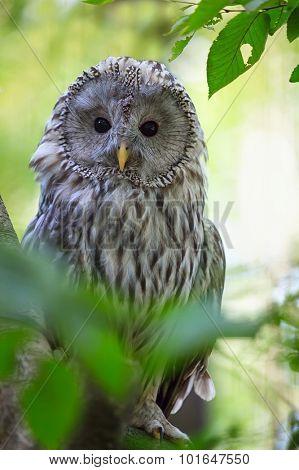 The Ural Owl (Strix uralensis) in the forest