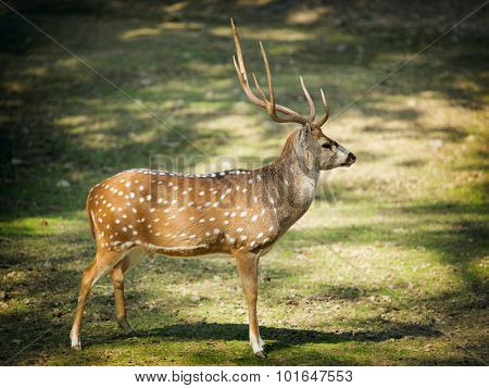 Chital or cheetal deer (the latin - Axis axis), also known as spotted deer or axis deer