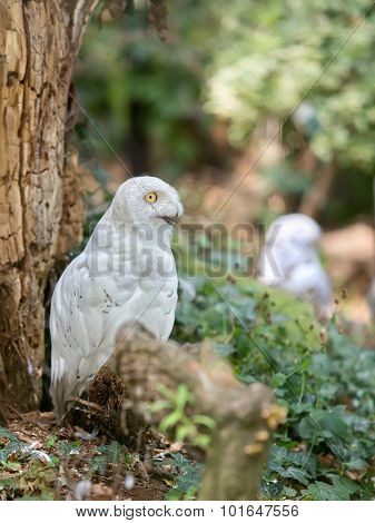 snowy owl sitting on the ground