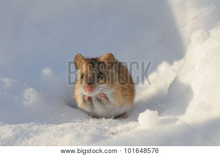 Frontal View Of Winter Mouse In Snow