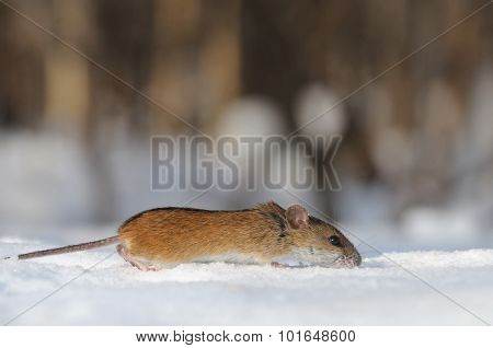 Striped Field Mouse Running In The Snow