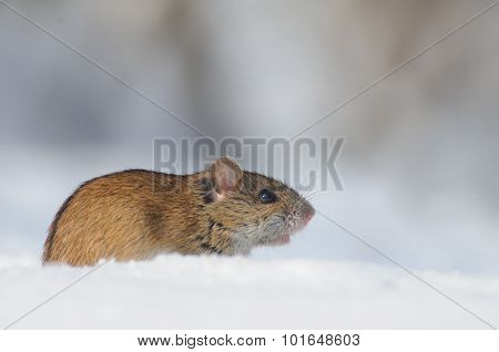 Side View Of Winter Mouse In Snow